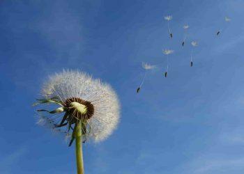 spring day - a dandelion flower fluttering in the sky